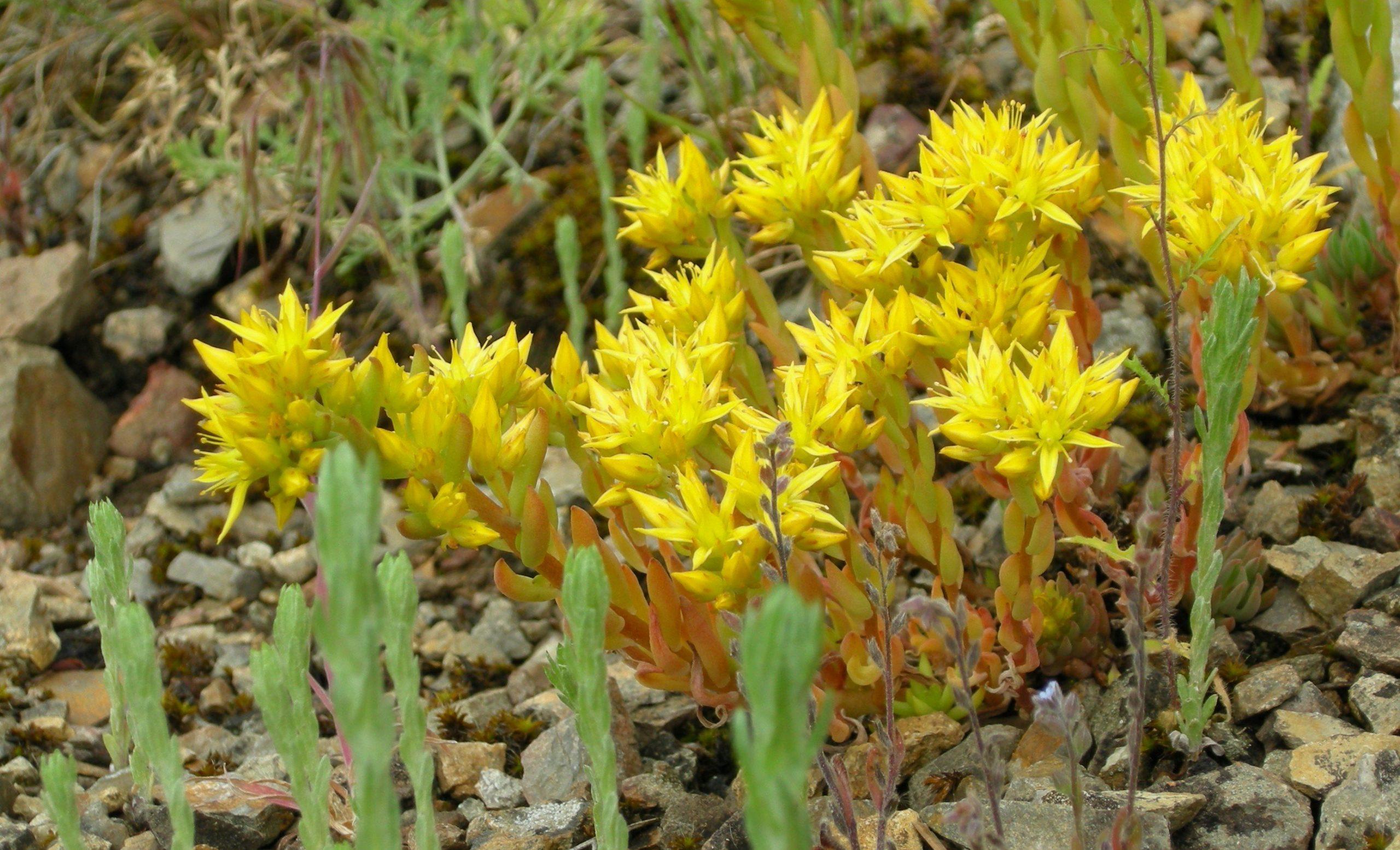 Okanagan Yellow Stonecrop (Sedum)