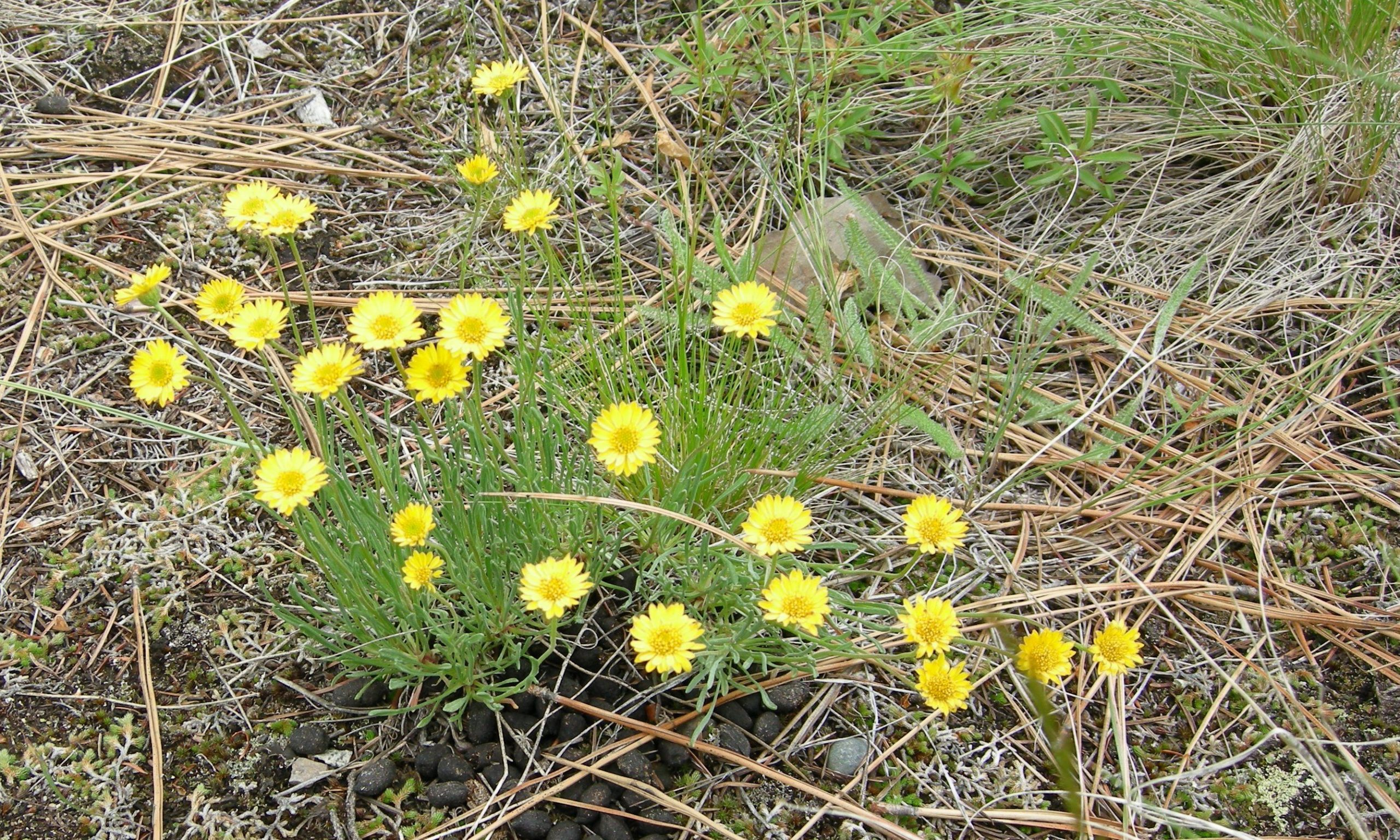Okanagan Yellow Thread Leaved Daisy