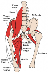 hamstring, hip flexors and gluteal muscle groups