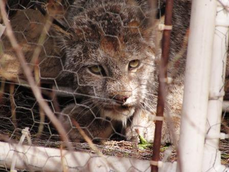 Lynx caught in a live trap