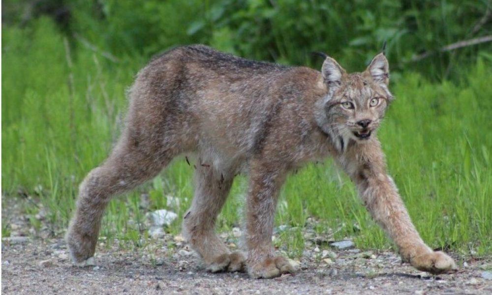 Report on Lynx in the Okanagan