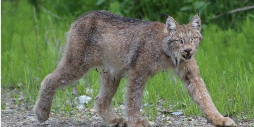 Report on Lynx in the Okanagan