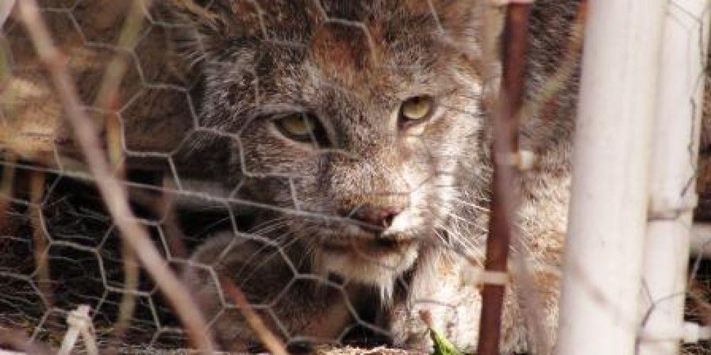 Wápupxn (Lynx) Transboundary Monitoring Trial – Derickson Trapline – West Kettle River, BC